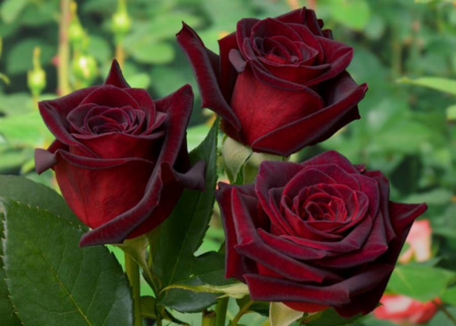 Розы для вашего сада