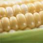 Мексиканская кукуруза научилась получать азот из водуха