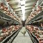 Украина увеличила экспорт курятины