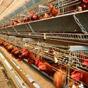 Курятина стала мясом №1 в Украине