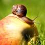 СК АСКА выплатила 1,6 млн. гривен агрофирме за потерянный урожай яблок